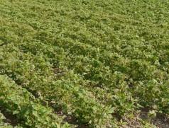 Meißt treten die Raupen nesterweise massiv auf. Von diesen Pflanzen wäre ohne rasche Behandlung nichts übrig geblieben. Foto: Taifun Tofuprodukte