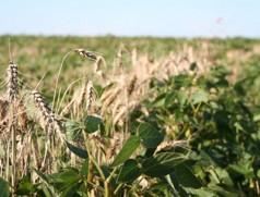 Nochmal Biosoja in Winterweizen. Etwas längeres Stroh beim Weizen wäre von Vorteil... Foto: Taifun Tofuprodukte