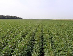Ob öko oder konventionell - saubere Sojabestände sind möglich. Foto: Taifun Tofuprodukte