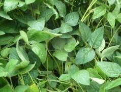 Gesunde Sojabestände sind in Mitteleuropa bisher auch ohne Pestizideinsatz die Regel. Foto: Taifun Tofuprodukte