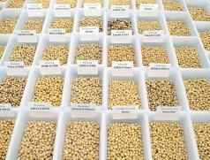 Neben den Anbaueigenschaften werden vor allem bei Speisesoja die Inhaltsstoffe neuer Sorten gründlich untersucht. Foto: Taifun Tofuprodukte