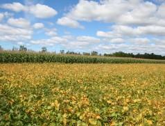 Soja und Mais ergänzen sich gut in der Fruchtfolge. In Amerika sind reine Soja-Mais-Fruchtfolgen konventionell weit verbreitet. Im Trockengebiet, wo die mechanische Beikrautregulierung einfacher ist, gibt es auch Öko-Fruchtfolgen mit Soja-Mais-Wechsel. Foto: Taifun Tofuprodukte