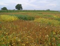 Sortentest für den deutschen Sojaanbau: Im Spätsommer treten die unterschiedlichen Reifegruppen der verfügbaren Sorten deutlich zu Tage. Foto: Taifun Tofuprodukte
