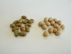 Einzelne unreif, grün gedroschene Bohnen trocknen im Lager rasch ein. Im Futter stellen sie überhaupt kein Problem dar. Im Lebensmittelbereich werden sie teilweise mittels Photoausleser entfernt. Foto: Taifun Tofuprodukte