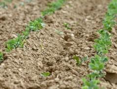 Sojabohnen auf Dämmen mit 50 cm Dammabstand. Foto: A. Grafen, Bioland