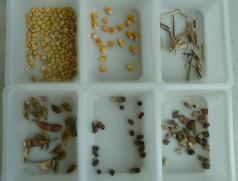 Typischer Besatz in Sojabohnen: Bruchkorn, Mais, Strohteile, Hülsenteile, Unkrautsamen, Steine. Foto: Taifun Tofuprodukte