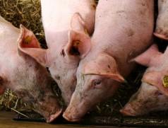 In der Schweinemast spielt Sojaeiweiß eine zentrale Rolle. Bisher wird der Bedarf fast ausschließlich in Übersee gedeckt. Foto: www.fotolia.com