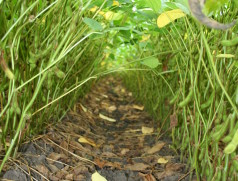Gutes Saatgut ist die Grundlage für einen gleichmäßigen Sojabestand und maximale Erträge. Foto: Taifun