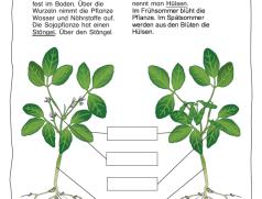 Arbeitsblatt Sojapflanze