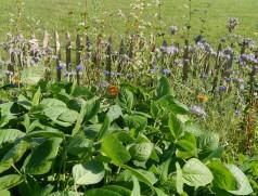Große, tiefgrüne Blätter: Edamame-Sojabohnen bereichern Feld und Garten.  Foto: Taifun Tofuprodukte